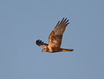 Marsh Harrier Royalty Free Stock Images