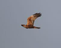 Marsh Harrier Stock Photos