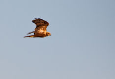 Marsh Harrier in the evening sun Royalty Free Stock Photography