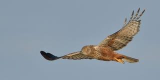 Marsh Harrier-Fliegen stockfotos