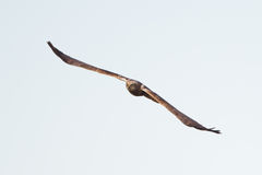 Marsh Harrier in flight Stock Image