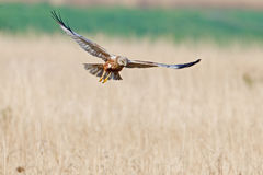 Marsh Harrier in flight Royalty Free Stock Photography