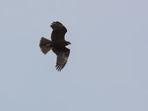 Marsh Harrier in flight Royalty Free Stock Photos