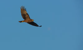 Marsh Harrier in flight Stock Photo