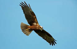 Marsh Harrier in flight Stock Images