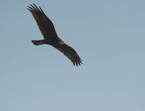 Marsh harrier Royalty Free Stock Image