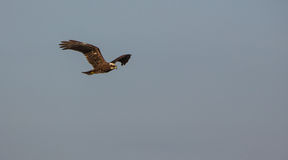 Marsh Harrier flyg Royaltyfri Fotografi