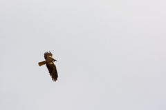 Marsh Harrier Stock Image
