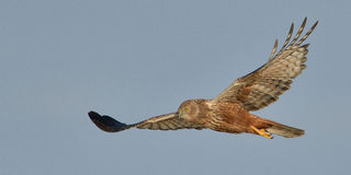 Marsh Harrier flying Stock Photos