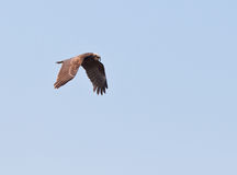 A Marsh harrier on hunting patrol Royalty Free Stock Images