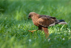 Marsh harrier - male (Circus aeruginosus). Poland.Marsh harier walkig on the meadow Royalty Free Stock Image
