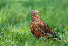 Marsh harrier - male (Circus aeruginosus). Poland.Marsh harrier on the meadow near ilawa town Stock Photos