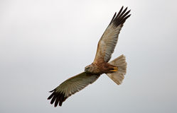 Marsh Harrier Royalty Free Stock Images