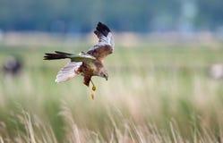 Marsh Harrier. Male in flight Stock Images