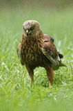 Marsh harrier on the meadow Stock Images