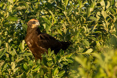 Marsh Harrier occidentale Immagine Stock