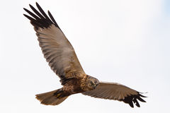 Marsh harrier stock photos