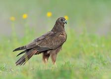 Marsh Harrier Stock Images