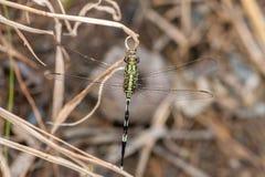 Marsh Hawk Dragonfly verde Fotografia de Stock Royalty Free