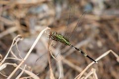 Marsh Hawk Dragonfly verde Imagens de Stock Royalty Free