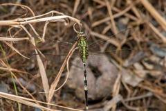 Marsh Hawk Dragonfly verde Imagens de Stock