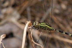 Marsh Hawk Dragonfly verde Fotografia de Stock