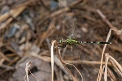 Marsh Hawk Dragonfly verde Imagem de Stock Royalty Free