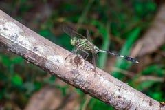 Marsh Hawk Dragonfly verde Imagenes de archivo