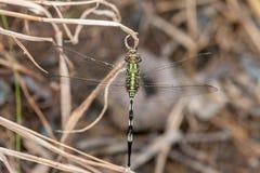 Marsh Hawk Dragonfly vert Photo stock