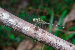 Marsh Hawk Dragonfly vert Photos stock