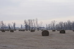 Marsh Hay. Round Marsh Hay Bales, made of Reed Canarygrass (Phalaris arundinacea) laying in a field in late winter Stock Photos
