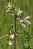 Marsh Helleborine Stock Photos