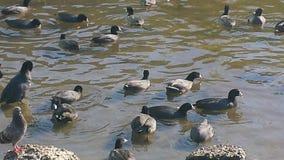 Marsh hens Stock Images