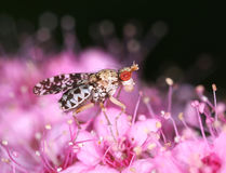 Marsh horn fly on pink flower macro. Marsh horn fly insect on pink flower macro royalty free stock photo
