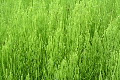Marsh horsetail or the humpback. (Equisetum palustre) Stock Photos