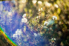 Marsh Labrador blooming in forest Royalty Free Stock Image