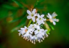 Marsh Labrador petals Stock Photo