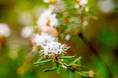 Marsh Labrador. Rhododendron tomentosum or Porst in forest blooming white Stock Images