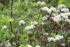 Marsh Labrador te, nordligt labradorte eller lösa rosmarin Arkivfoton