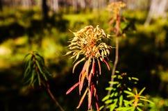 Marsh Labrador Tea fruits in the autumn Royalty Free Stock Image