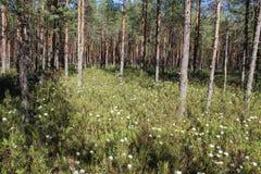 Marsh Labrador tea, northern Labrador tea or wild rosemary royalty free stock photos