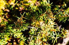Marsh Labrador Tea plants in the autumn Royalty Free Stock Photography