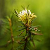 Marsh Labrador Tea Rhododendron tomentosum Royalty Free Stock Photo