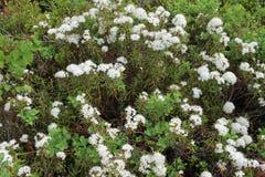 Marsh Labrador-Tee, Nord-Labrador-Tee oder wilder Rosmarin Stockbilder