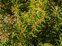 Marsh Labrador-Tee, Rhododendron tomentosum Ledum palustre, Nahaufnahme, selektiver Fokus, flacher DOF Lizenzfreie Stockfotografie