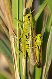 Marsh Lurkers - Stethophyma-grossum Stock Photos