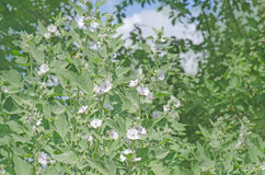 Marsh mallow Althaea officinalis. Marsh mallow flower heads. Althaeae folium  has been used traditionally to treat  cough. Althaea officinalis Stock Photo