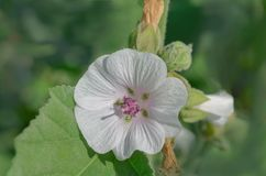 Marsh mallow flower. Althaea officinalis marshmallow. Marshmallow flower on wooden table. Traditional medicine Stock Photo