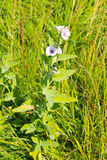 Marsh mallow flower (Althaea officinalis). On the meadow stock images