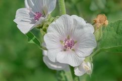 Marsh mallow flower. Marshmallow Althaea officinalis flower. Common marshmallow in field Stock Photography